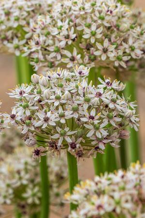 Allium  (silverspring) in full flower 스톡 콘텐츠