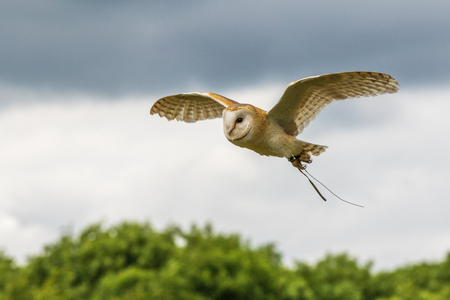 Barn owl (Tyto alba) in flight close-up