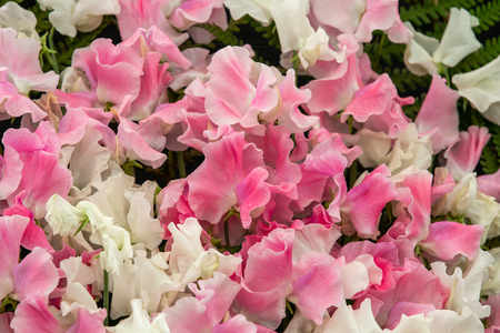 sweet pea Banty and Lucy Hawthorne (Lathyrus oderatus)  in full flower Stock Photo