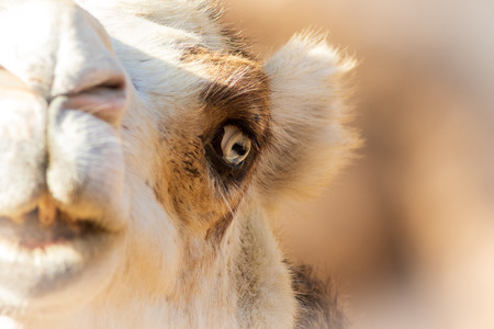 Camel close-up from the Oasis Park, Fuerteventura.