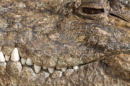 A large dangerous Crocodile at the Oasis Park on Fuerteventura , Spain. Imagens