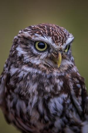 Little owl (Athene noctua) perched close-up