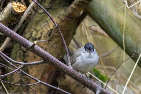 Blackcap (Sylvia atricapilla) on a perch