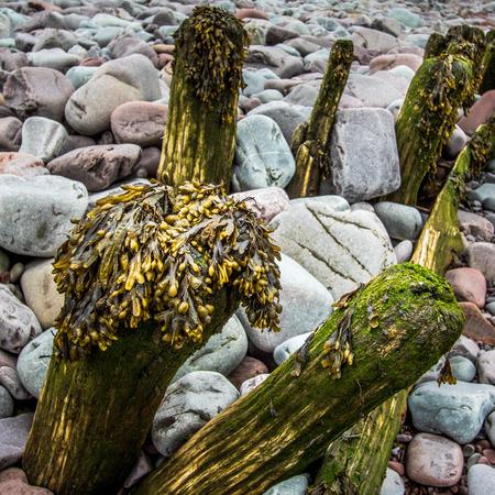 wooden groynes with seaweed with large rocks Standard-Bild - 119622515