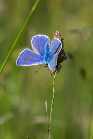 Common blue butterfly on a grass stem