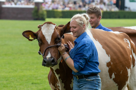 Harrogate, North Yorkshire, UK - July 12th, 2018: Cow judging at the Great Yorkshire Show on 12th July 2018 at Harrogate in North Yorkshire, England