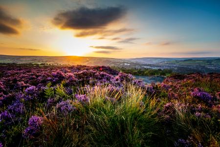 Heidekraut (Calluna vulgaris) in voller Blüte bei Norland in Halifax, West Yorkshire. Vereinigtes Königreich