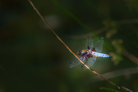Broad-bodied Chaser (Libellula depressa) perched near a pond