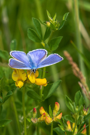 Common blue butterfly perched on a grass stem Stock Photo