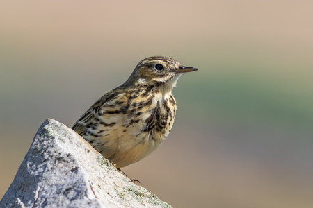 Meadow Pipit Anthus pratensis) sat on a wall