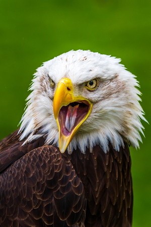 Bald eagle (Haliaeetus leucocephalus) Close-up 版權商用圖片