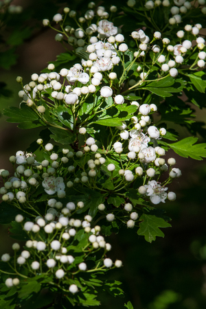 Hawthorn (Crataegus monogyna) in flower close-up Standard-Bild
