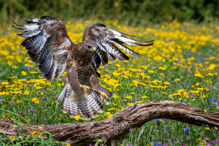 Common buzzard (Buteo buteo) perched Reklamní fotografie - 124728466