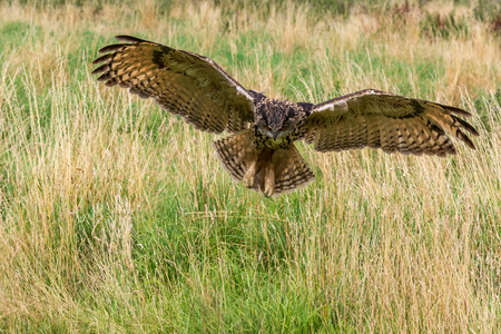 Eagle owl  (Bubo bubo) in flight looking for food