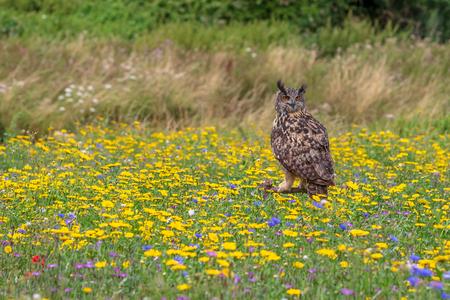 Eagle owl  (Bubo bubo) perched