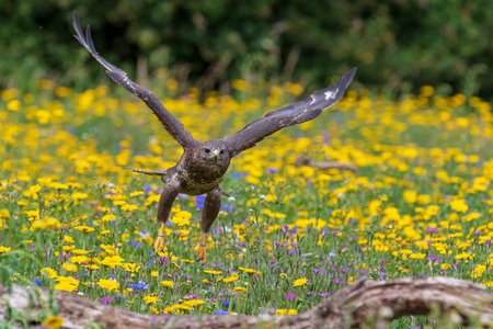 Common buzzard  (Buteo buteo) in flight Reklamní fotografie - 124728515