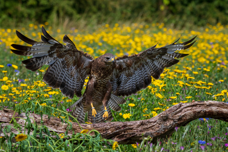 Common buzzard (Buteo buteo) perched Reklamní fotografie - 124728542