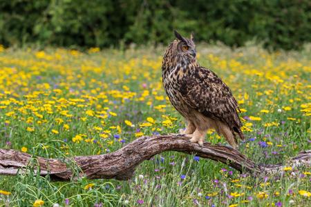 Eagle owl  (Bubo bubo) perched close-up