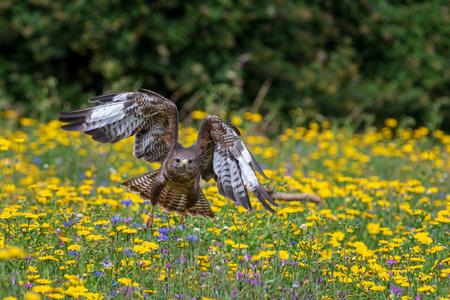 Common buzzard  (Buteo buteo) in flight Reklamní fotografie - 124728644