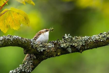 Treecreeper (Certhia familiaris) perched on a tree