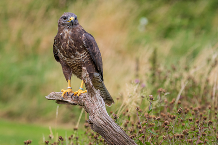 Common buzzard (Buteo buteo) perched