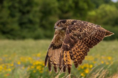 Eagle owl  (Bubo bubo) in flight