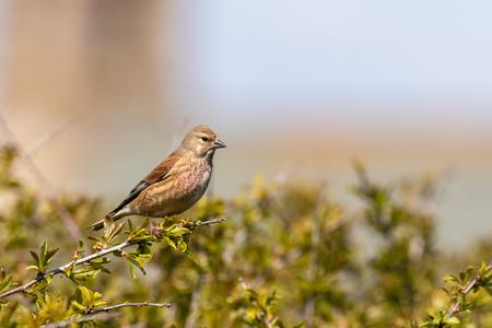 linnet (Carduelis cannabina)  perched in a bush Banco de Imagens