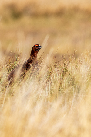 Red grouse (Lagopus lagopus) in the Yorkshire Dales UK Imagens