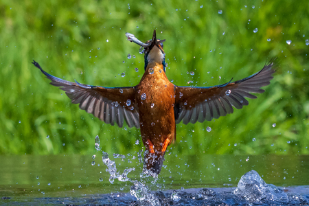 kingfisher (Alcedo atthis) diving for a fish 写真素材