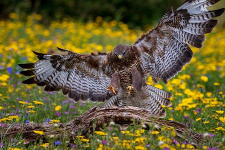 Common buzzard  (Buteo buteo) in flight Reklamní fotografie - 124728822
