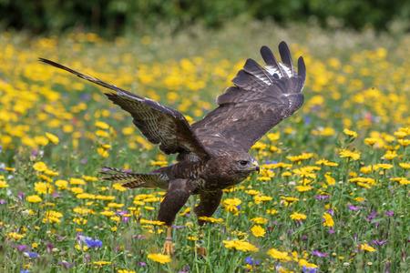 Common buzzard  (Buteo buteo) in flight Reklamní fotografie - 124729028