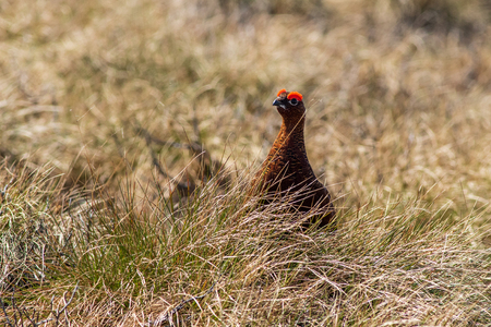 Red grouse (Lagopus lagopus) in the Yorkshire Dales UK Stock Photo