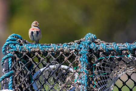 linnet (Carduelis cannabina)  perched on a lobster basket Banco de Imagens - 124729037