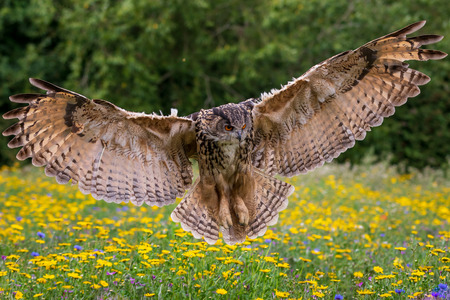 Eagle owl  (Bubo bubo) in flight