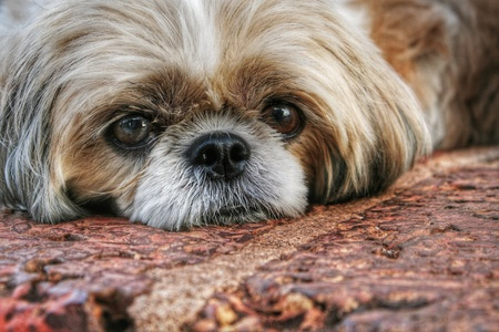 shihtzu: Shihtzu lying down on cobblestones