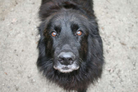 soulful eyes: Up-close photo of a black dog looking into camers with blurred background Stock Photo