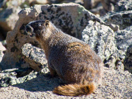 national scenic trail: Hoary Marmot sitting on a rock in Rocky Mountain National Park