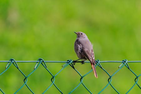 A black redstart on a garden fence in the countryside