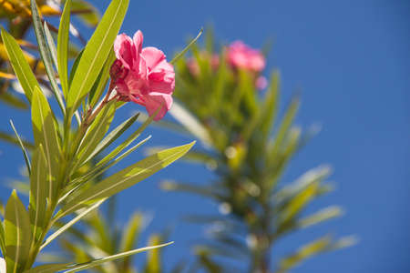 pink blossom and green leaves agains blue sky