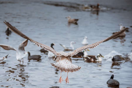 arguement: seagull seen from behind wings spread flying away