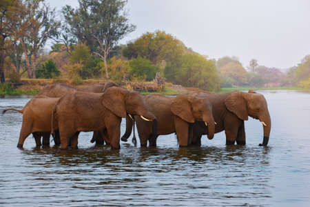 herd of african elephants walking through shallow river
