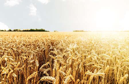 Ernte auf dem Feld erntereif gegen strahlende Sonne