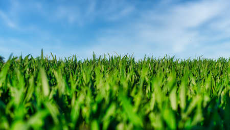 low angle view of green grass on field or meadow against blue sky