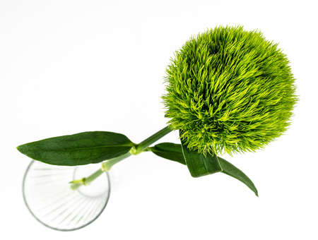 high abgke view of singe Sweet William flower Dianthus barbatus green ball or green tick on bright white background