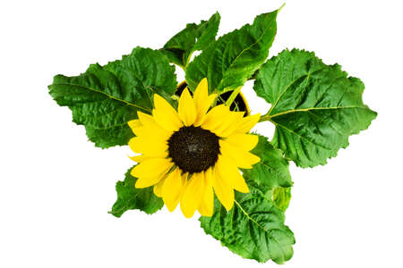 top view of potted flowering sunflower isolated on white background