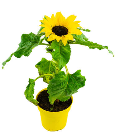 high angle view of potted blooming sunflower against white background