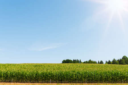 corn on field against clear blue sky on summer day Banque d'images