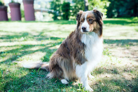 close-up of Australian Shepherd male dog sitting on lawn in garden Banque d'images