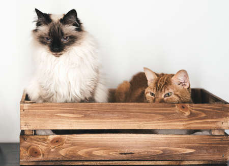 front view of two domestic cats relaxing in wooden box against white wall