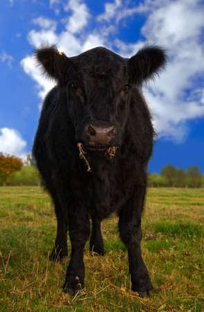 cud: Juvenile Aberdeen Angus cow in rural setting